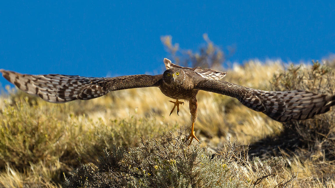 Cinereous harrier taking off for a patrol flight over the inlands in Santa Cruz province, southern Argentina.