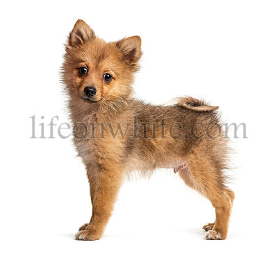 Side view of a Standing Pomeranian, isolated on white
