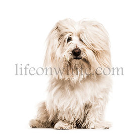 Coton de Tulear looking at the camera, isolated on white