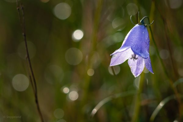 Autumn harebell in dew covered grassland close-up.