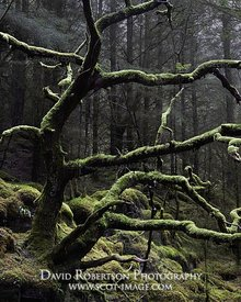 Prints & Stock Image - Dead oak tree covered in moss in forestry plantation, near Kentra, Ardnamurchan, Lochaber, Highland, S...