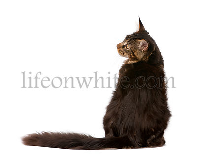 Maine Coon, 7 months old, sitting in front of white background