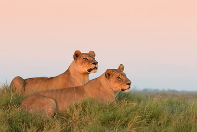 Lionesses Waking Up