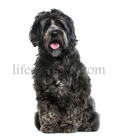 Tibetan Terrier isolated on white