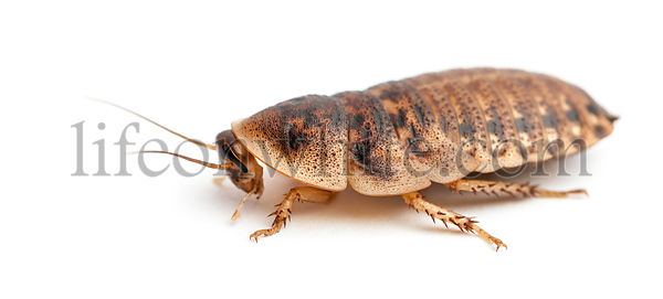 Cockroach against white background