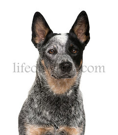 Close-up of an Australian Cattle Dog in front of a white background