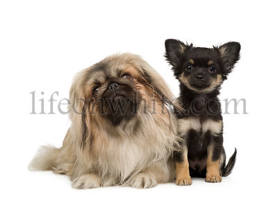 a Pekingese and a chihuahua