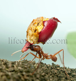 Leaf-cutter ant, Acromyrmex octospinosus, carrying eaten apple