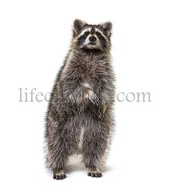 raccoon on hind legs, isolated on white