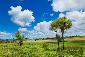 Cultural landscape with cabbage trees - Oceania, New Zealand, North Island, Northland, Kaipara, Mangawhai Heads, südlich Te A...