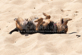 Small Terrier Mix Rolling on Sand on Sunny Day