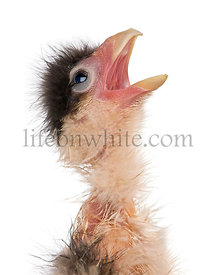 Caracaras, 12 hrs old, with beak open in front of white background