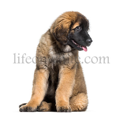Leonberger puppy looking at camera against white background