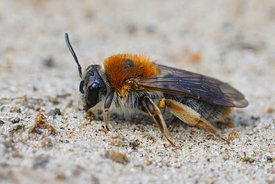 Closeup of the colorful female of the Orange-tailed mining bee ,  Andrena haemorrhoa