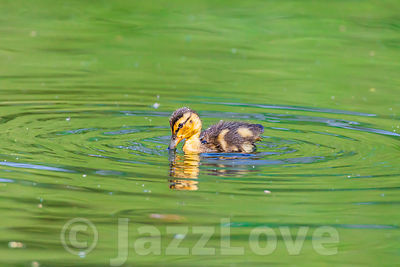 Adorable duckling swimming in pond with green water in spring.