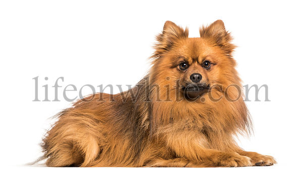 Keeshond dog lying against white background