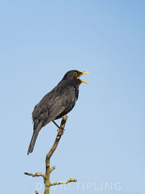 Blackbird Turdus merula male in song at dawn in garden North Norfolk May