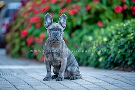 brindle blue frenchie sitting in front of red and green plants
