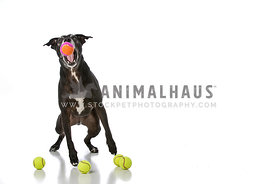 Black Staffordshire Terrier Catching a Tennis Ball on White