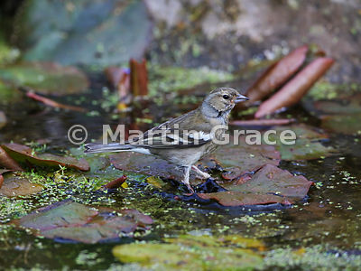 Common Chaffinch (Fringilla coelebs) female standing on water lily pads in the garden pond, Lake District National Park, Cumb...