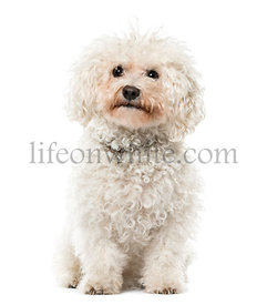 Bichon Frisé sitting, isolated on white, 9 years old