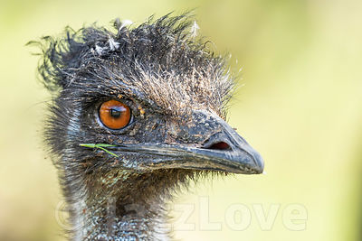 Close up, right profile portrait of emu ostrich looking in camera.