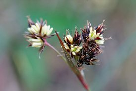 Closeup on the seed, pollen of  field wood-rush, Good Friday grass , sweep's brush or Luzula campestris