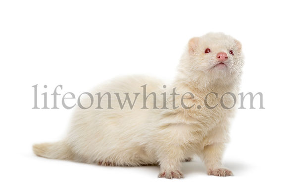 White Ferret looking away isolated on white