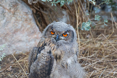 Grand-duc d'Europe (Bubo bubo) / Eurasian eagle-owl