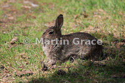 European Rabbit (Oryctolagus cuniculus), Strathspey, Scottish Highlands