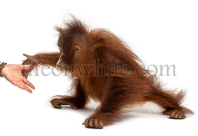 Side view of a young Bornean orangutan reaching at human hand, Pongo pygmaeus, 18 months old, isolated on white