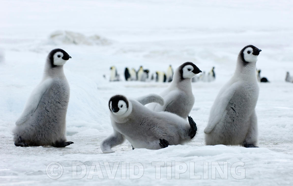 Emperor Penguin Aptenodytes forsteri chick slipping over on ice Snow Hill Island Weddell Sea Antarctica November