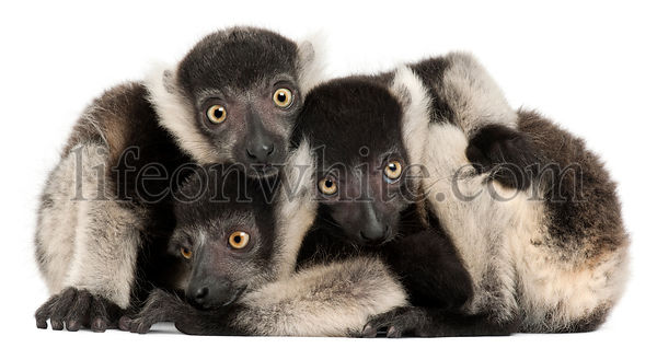 Young Northern black-and-white ruffed lemurs, Varecia variegata subcincta, 2 months old, in front of white background