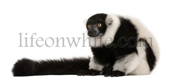 Northern black-and-white ruffed lemur, Varecia variegata, 24 years old, sitting in front of white background