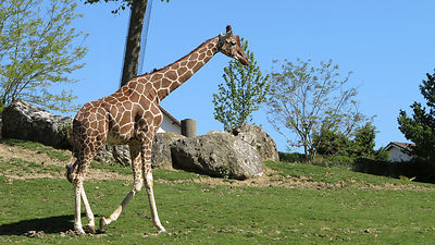 Giraffe-clean-Zooparc-de-Beauval_Mir-Photo-ADT41