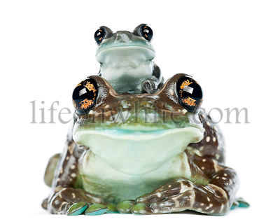 Female Amazon Milk Frog with young, Trachycephalus resinifictrix, portrait against white background