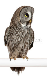 Great Grey Owl or Lapland Owl, Strix nebulosa, a very large owl, perching in front of white background