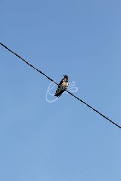 Varis langalla|||Crow sitting on wire