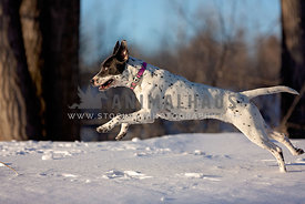 A large bully breed running through the snow
