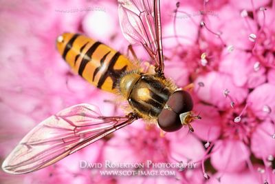 Image - A male Episyrphus balteatus hoverfly feeding on a Spiraea flower