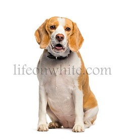 Beagle sitting in front of white background