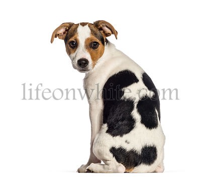 rear view of Smooth Fox Terrier, 3 months old, sitting in front of white background
