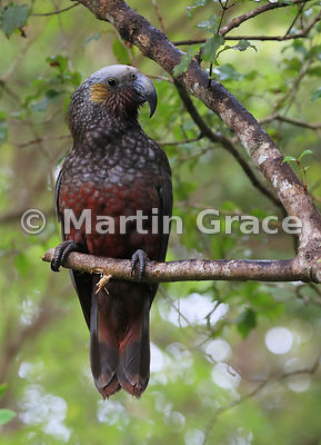 South Island & Stewart Island Kaka (Nestor meridionalis ssp meridionalis) perching in a tree, Ulva Island, New Zealand
