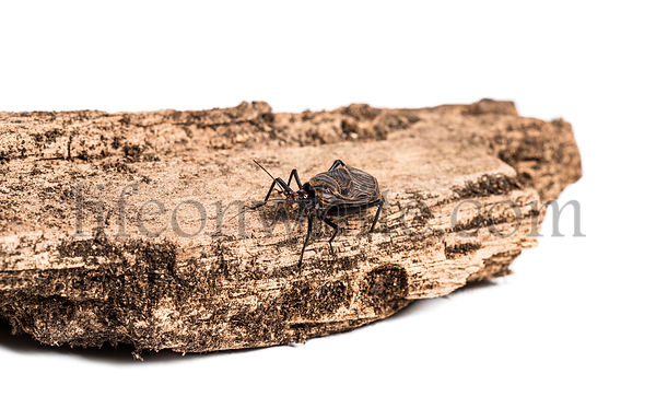 Ethiopian Cricket, Homoeogryllus xanthographus, on log in front of white background