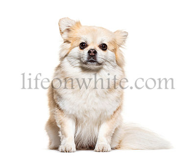 Sitting and facing Pomeranian, isolated on white