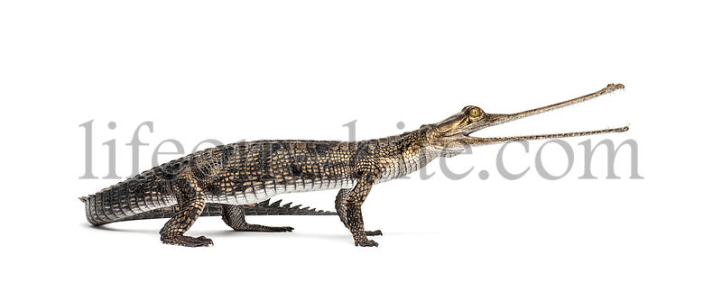 Young Fish-eating crocodile, Gavial, Gavialis gangeticus, isolated on white