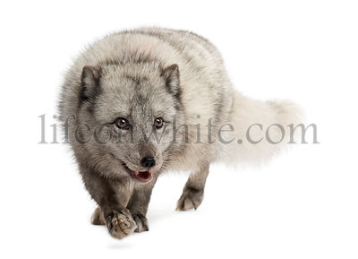 Arctic fox walking, prwoling, Vulpes lagopus, isolated on white