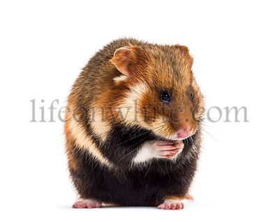 European hamster, Cricetus cricetus, sitting in front of white background