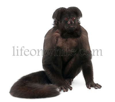 Black Bearded Saki, Chiropotes satanas, 6 years old, in front of white background