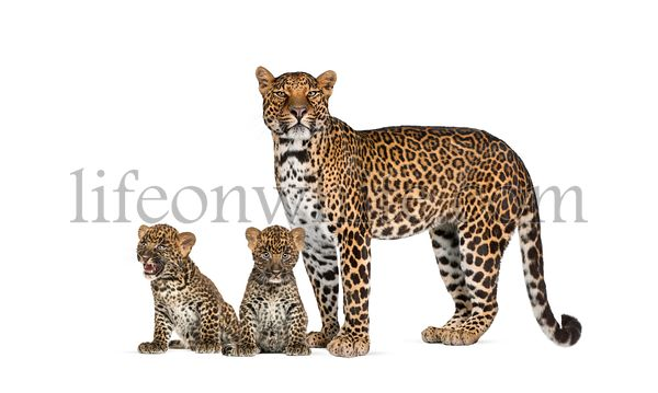 Spotted leopard with her two cubs isolated